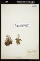 Thumbnail for <i>Cardamine bellidifolia</i> <i></i> ...
