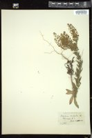 Thumbnail for <i>Lepidium campestre</i> <i></i> ...