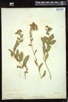 Thumbnail for <i>Lepidium draba</i> <i></i> ...