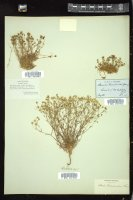 Thumbnail for <i>Arenaria groenlandica</i> <i></i> ...