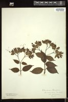 Thumbnail for <i>Clerodendrum thomsoniae</i> <i></i> ...