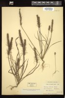 Thumbnail for <i>Plantago aristata</i> <i></i> ...