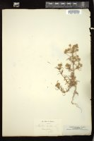 Thumbnail for <i>Plantago afra</i> <i></i> ...