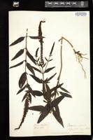 Thumbnail for <i>Veronica spicata</i> <i></i> …