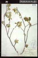 Thumbnail for <i>Amelanchier humilis</i> <i></i> ...