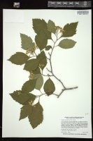 Thumbnail for <i>Crataegus calpodendron</i> <i></i> ...