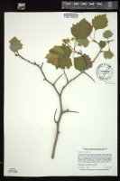 Thumbnail for <i>Crataegus chrysocarpa</i> <i></i> ...