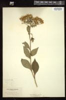 Thumbnail for <i>Eurybia macrophylla</i> <i></i> ...