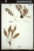 Thumbnail for <i>Woodsia ilvensis</i> <i></i> ...