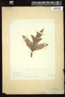 Thumbnail for <i>Cryptomeria japonica</i> <i></i> ...