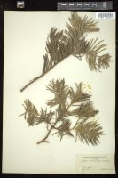 Thumbnail for <i>Abies concolor</i> <i></i> ...