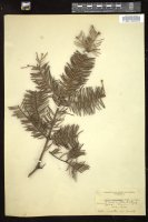 Thumbnail for <i>Abies homolepis</i> <i></i> ...