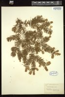 Thumbnail for <i>Taxus canadensis</i> <i></i> …