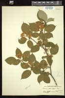 Thumbnail for <i>Cornus alternifolia</i> <i></i> …