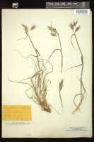 Thumbnail for <i>Danthonia californica</i> <i></i> ...