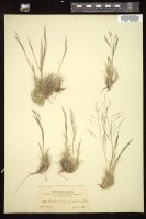 Thumbnail for <i>Muhlenbergia torreyi</i> <i></i> …