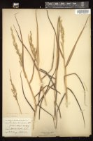 Thumbnail for <i>Panicum amaroides</i> <i></i> …