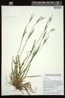 Thumbnail for <i>Carex laxiflora</i> <i></i> …