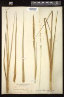 Thumbnail for <i>Spartina alterniflora</i> <i></i> …