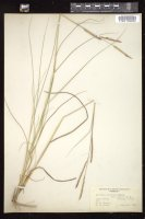Thumbnail for <i>Spartina patens</i> <i></i> …