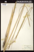 Thumbnail for <i>Spartina spartinae</i> <i></i> …