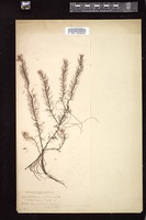 Thumbnail for <i>Myriophyllum ambiguum</i> <i></i> …