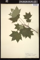 Thumbnail for <i>Acer laetum</i> <i></i> ...