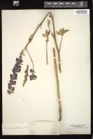 Thumbnail for <i>Delphinium californicum</i> <i></i> …