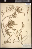 Thumbnail for <i>Acacia catechu</i> <i></i> ...