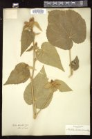 Thumbnail for <i>Abutilon holosericeum</i> <i></i> ...