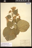 Thumbnail for <i>Abutilon bakerianum</i> <i></i> ...