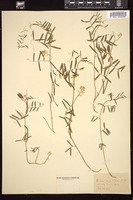Thumbnail for <i>Vicia acutifolia</i> <i></i> …