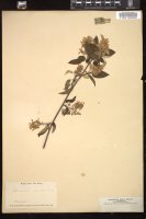 Thumbnail for <i>Amelanchier asiatica</i> <i></i> …