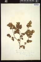 Thumbnail for <i>Physocarpus torreyi</i> <i></i> …