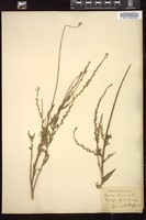 Thumbnail for <i>Gaura biennis</i> <i></i> ...