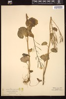 Thumbnail for <i>Cardamine cordifolia</i> <i></i> ...