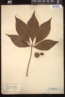 Thumbnail for <i>Aesculus glabra</i> <i></i> ...