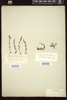 Thumbnail for <i>Epilobium alpinum</i> <i></i> ...