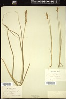 Thumbnail for <i>Carex elongata</i> <i></i> ...