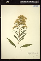 Thumbnail for <i>Solidago gigantea</i> <i></i> …
