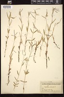 Thumbnail for <i>Epilobium palustre</i> <i></i> …