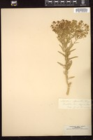 Thumbnail for <i>Lepidium alyssoides</i> <i></i> ...