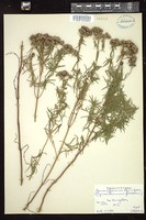 Thumbnail for <i>Pycnanthemum flexuosum</i> <i></i> ...