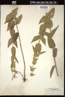 Thumbnail for <i>Pycnanthemum californicum</i> <i></i> ...