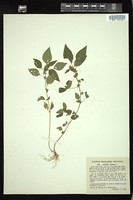 Thumbnail for <i>Acalypha virginica</i> <i></i> ...