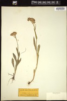 Thumbnail for <i>Senecio integerrimus</i> <i></i> ...