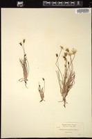 Thumbnail for <i>Agoseris heterophylla</i> <i></i> ...