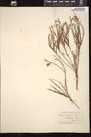 Thumbnail for <i>Gaura coccinea</i> <i></i> ...