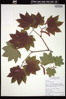 Thumbnail for <i>Acer circinatum</i> <i></i> ...