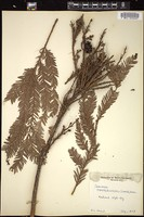 Thumbnail for <i>Sequoia sempervirens</i> <i></i> ...